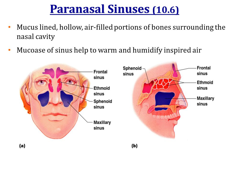 Paranasal Sinuses (10.6) Mucus lined, hollow, air-filled portions of bones surrounding the nasal cavity.