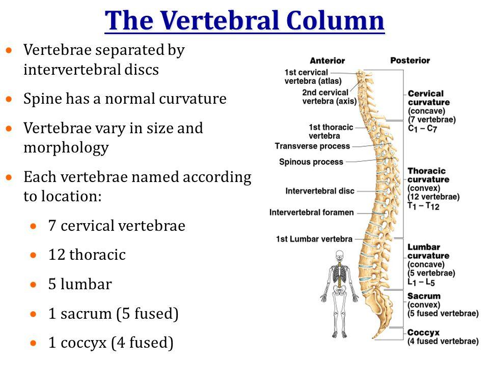 The Vertebral Column Vertebrae separated by intervertebral discs
