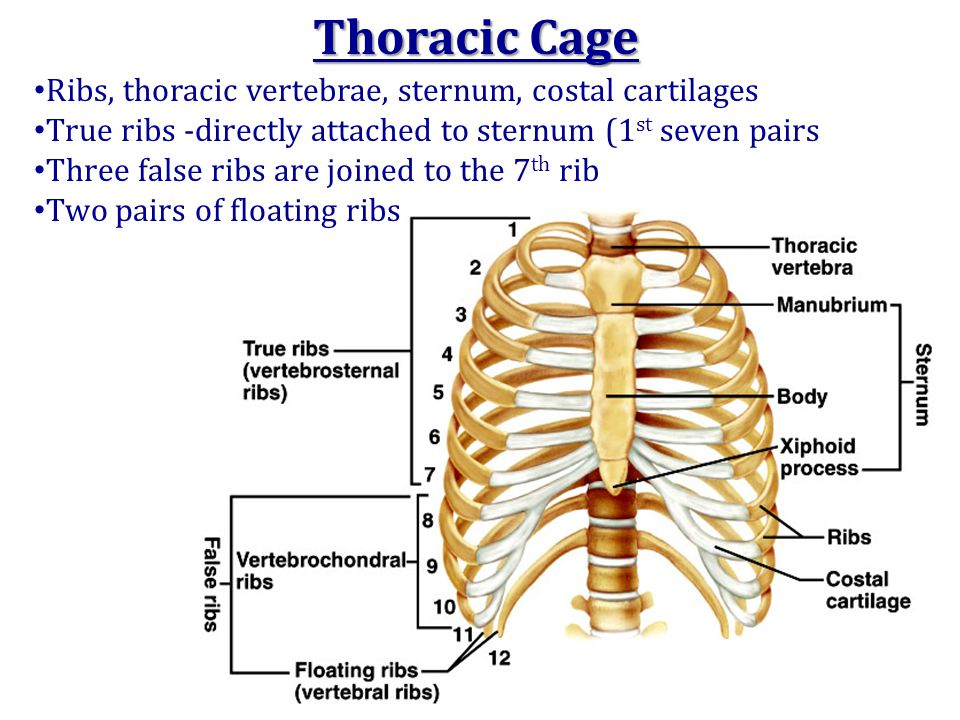 Thoracic Cage Ribs, thoracic vertebrae, sternum, costal cartilages