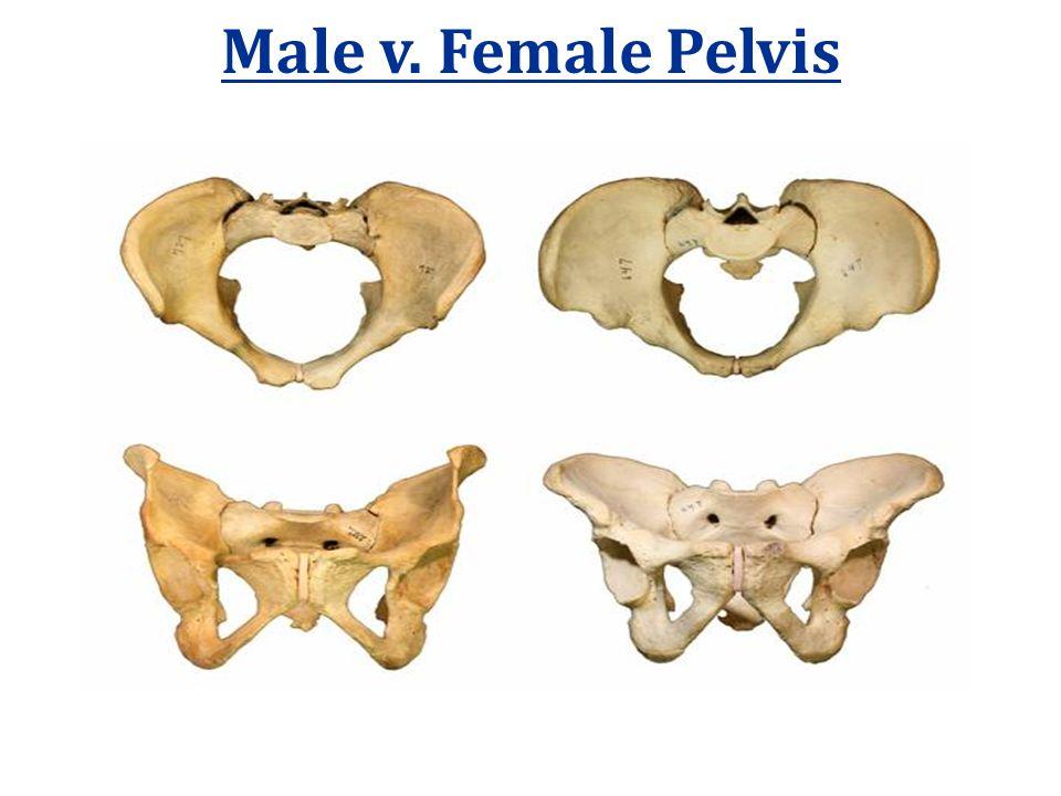 Male v. Female Pelvis