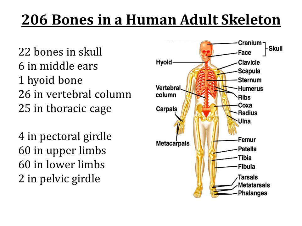 206 Bones in a Human Adult Skeleton