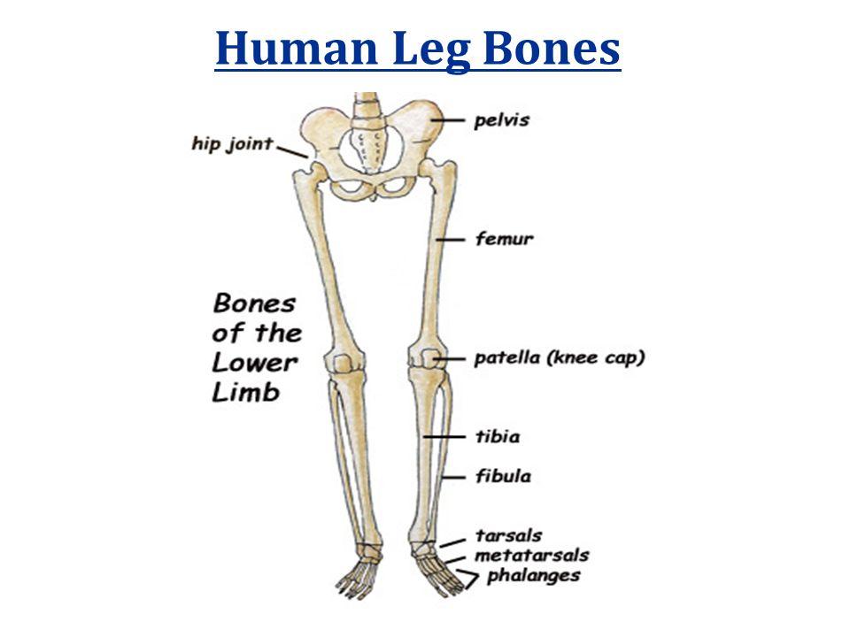 Human Leg Bones