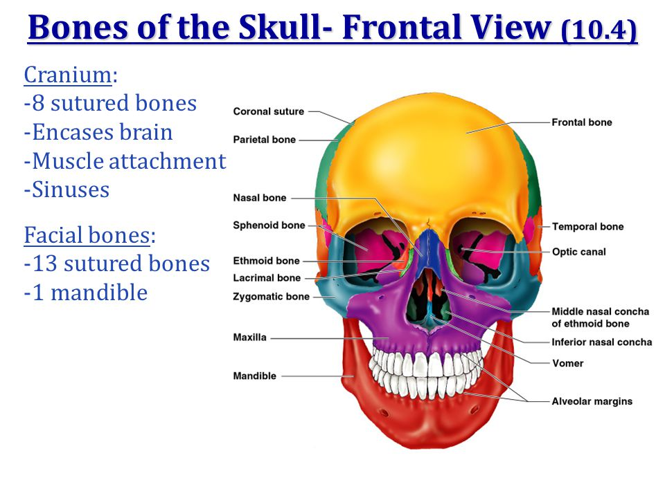 Bones of the Skull- Frontal View (10.4)