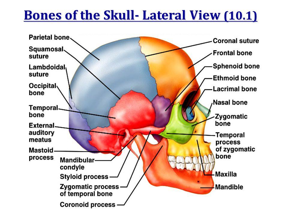 Regions Of The Human Skeleton Ppt Video Online Download