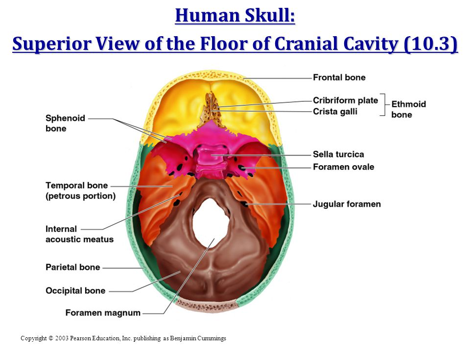 Superior View of the Floor of Cranial Cavity (10.3)