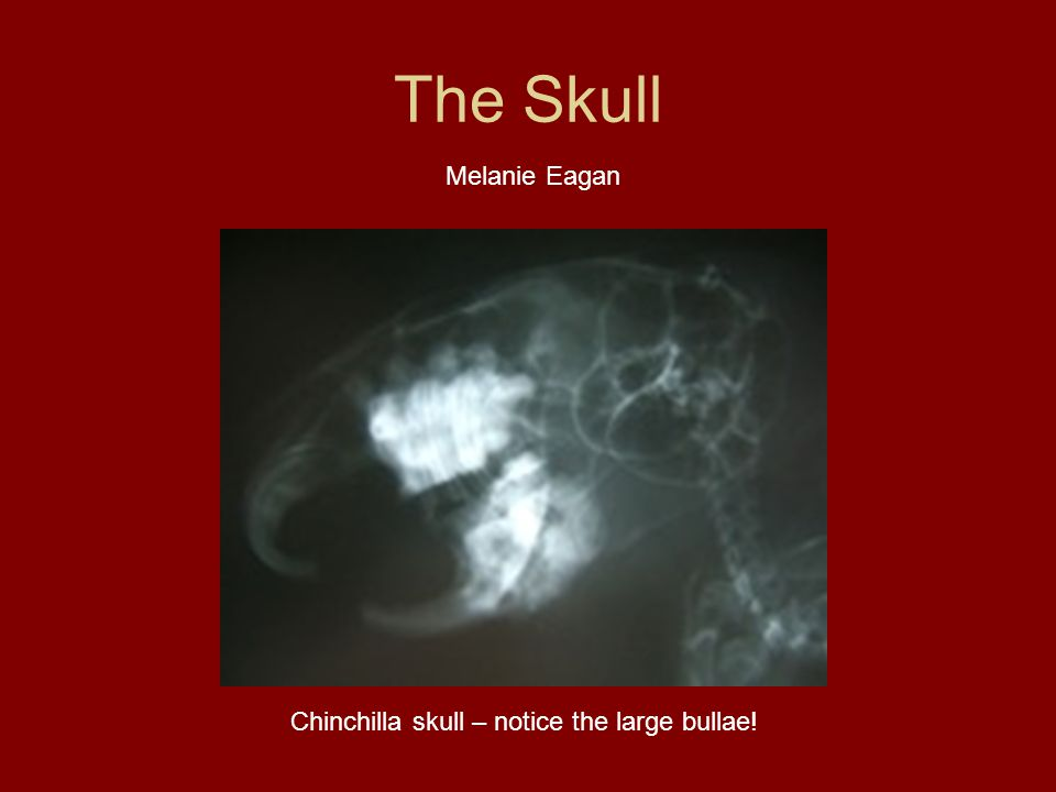 Chinchilla skull – notice the large bullae!
