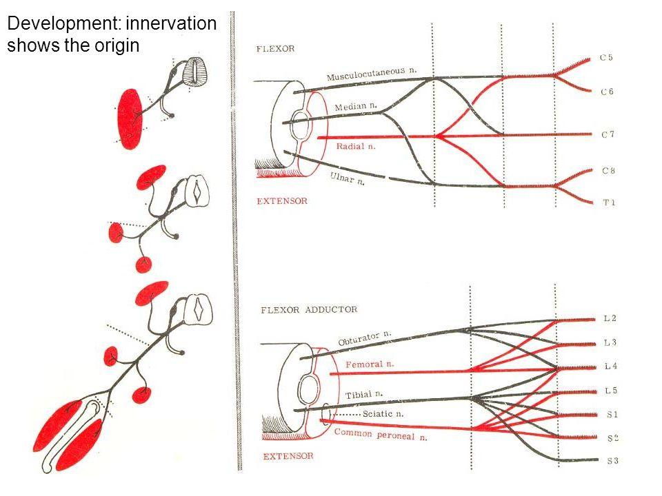 Development: innervation shows the origin