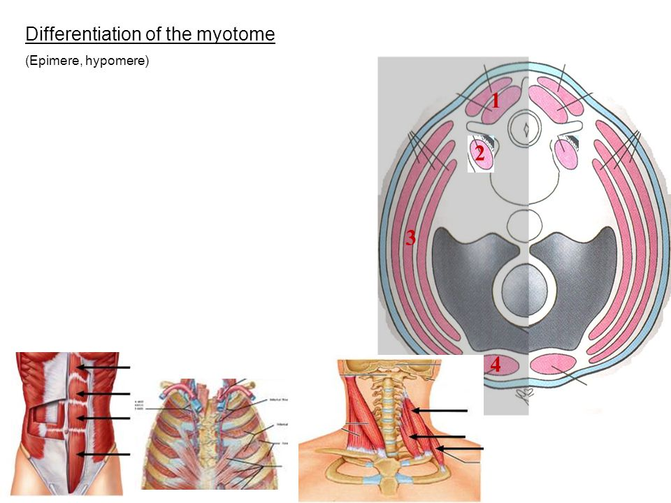 Differentiation of the myotome