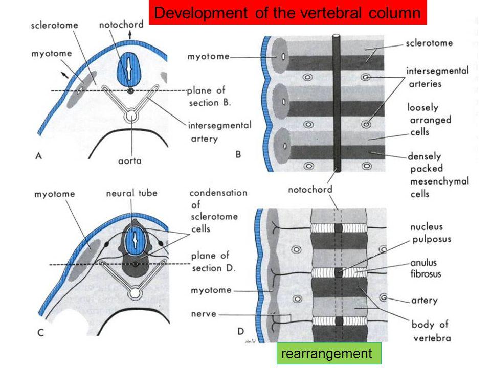 Development of the vertebral column