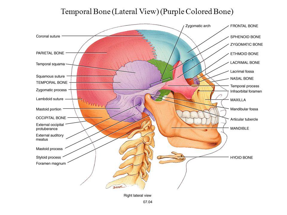 Temporal Bone (Lateral View) (Purple Colored Bone)