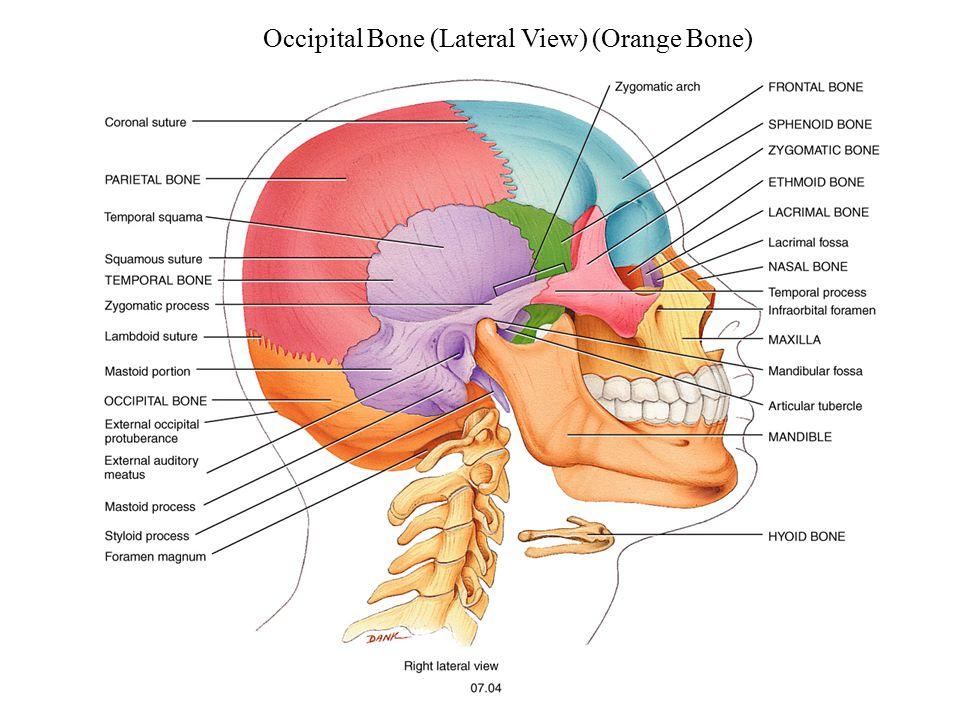 Occipital Bone (Lateral View) (Orange Bone)