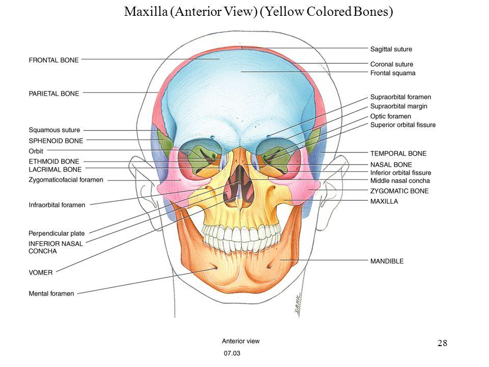 Maxilla (Anterior View) (Yellow Colored Bones)