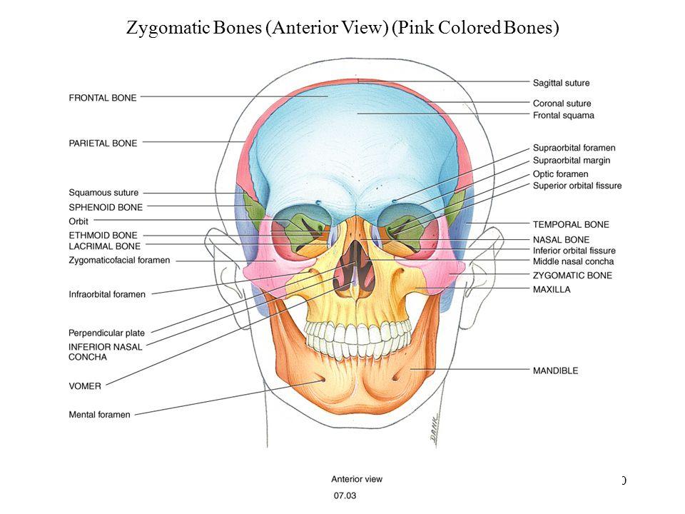 Zygomatic Bones (Anterior View) (Pink Colored Bones)