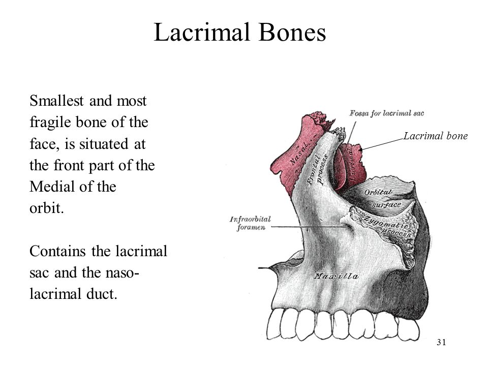 Lacrimal Bones Smallest and most fragile bone of the