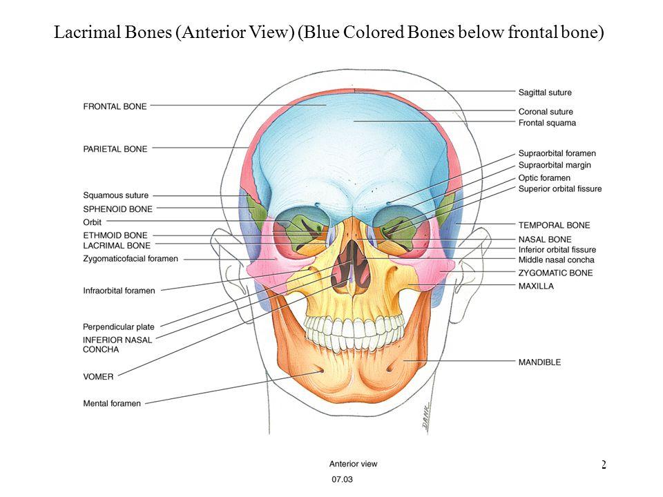 Lacrimal Bones (Anterior View) (Blue Colored Bones below frontal bone)
