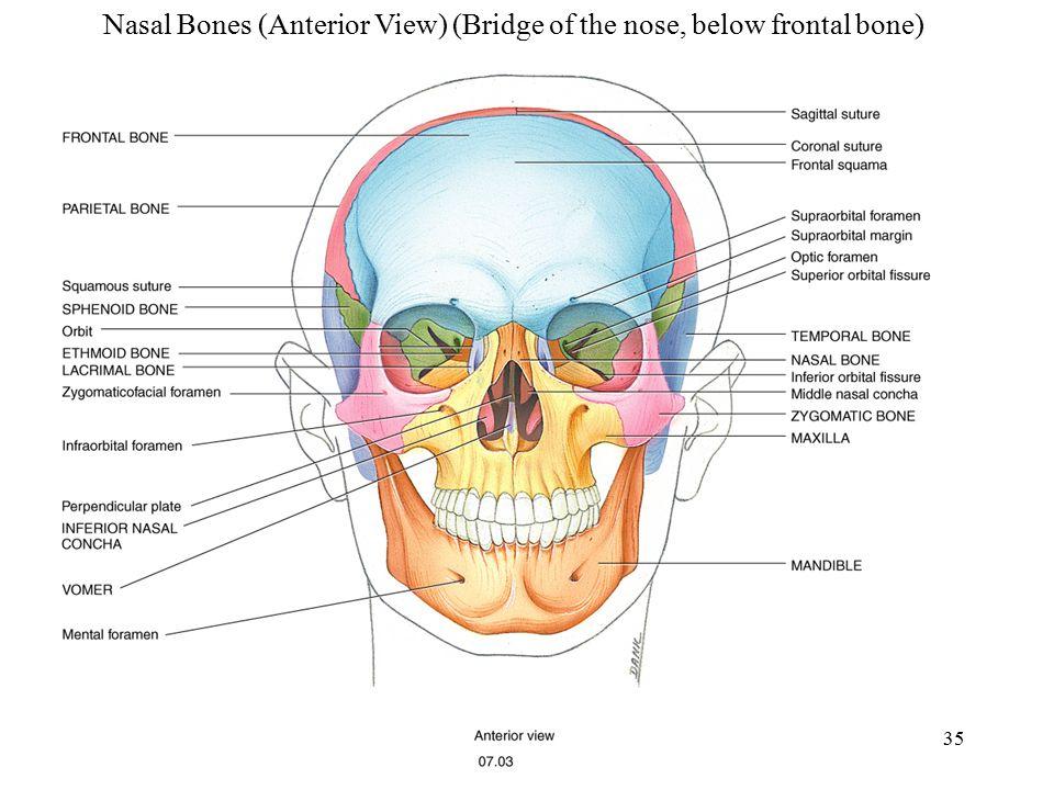 Nasal Bones (Anterior View) (Bridge of the nose, below frontal bone)