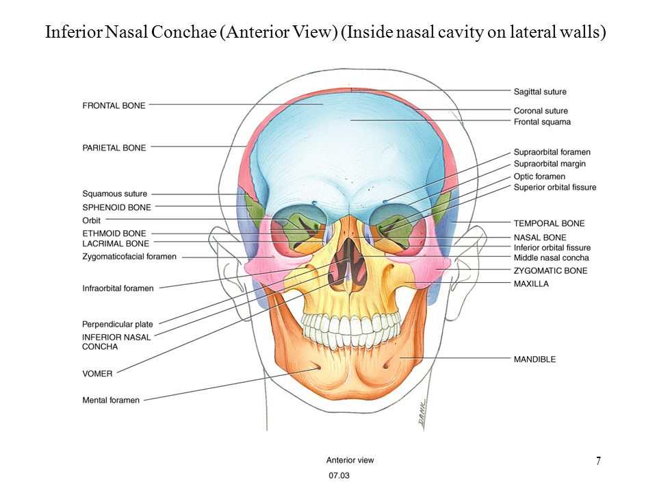 Inferior Nasal Conchae (Anterior View) (Inside nasal cavity on lateral walls)
