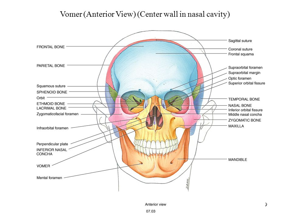 Vomer (Anterior View) (Center wall in nasal cavity)