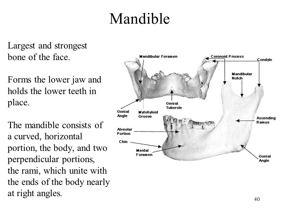 Mandible Largest and strongest bone of the face.