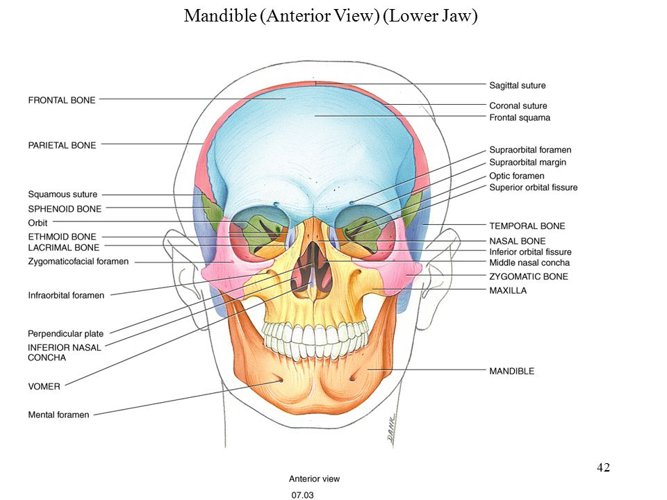 Mandible (Anterior View) (Lower Jaw)