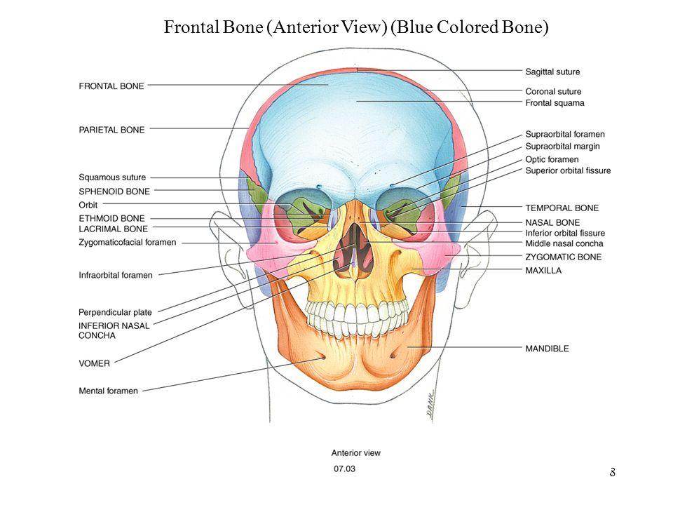 Frontal Bone (Anterior View) (Blue Colored Bone)