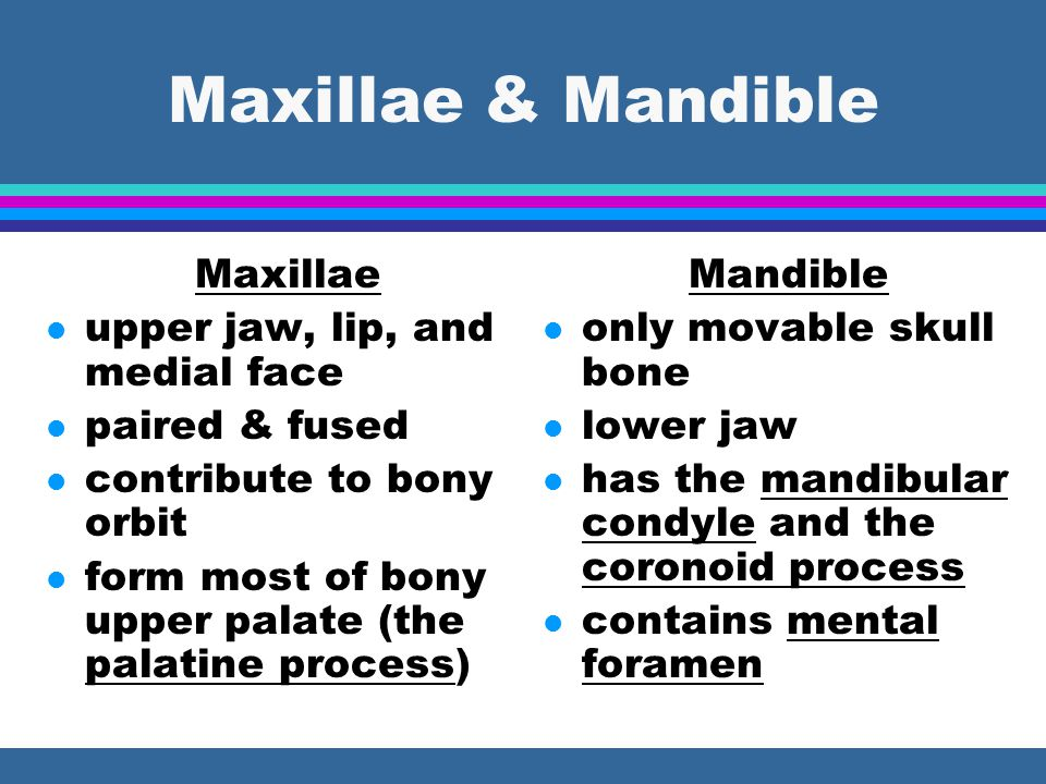 Maxillae & Mandible Maxillae upper jaw, lip, and medial face