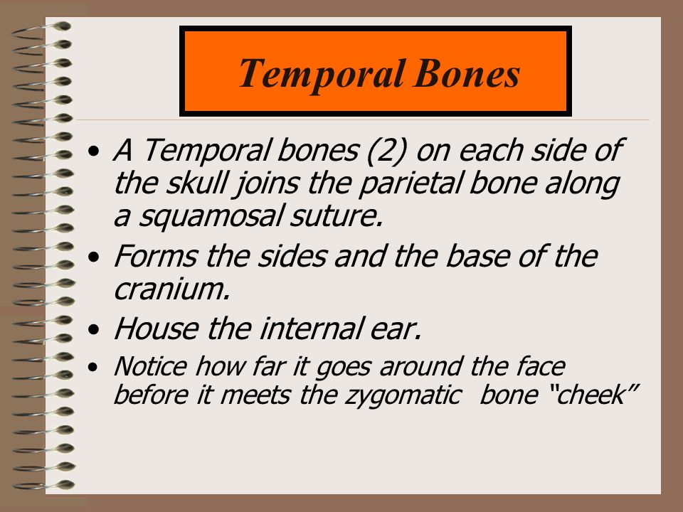 Temporal Bones A Temporal bones (2) on each side of the skull joins the parietal bone along a squamosal suture.