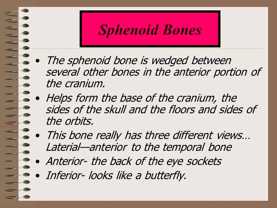 Sphenoid Bones The sphenoid bone is wedged between several other bones in the anterior portion of the cranium.