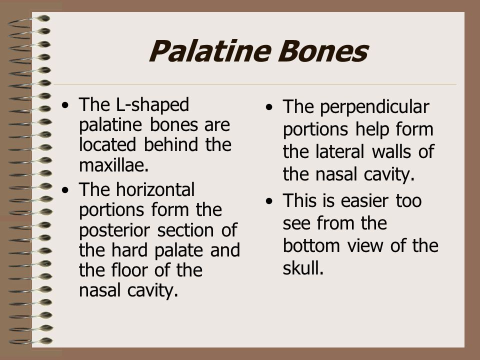Palatine Bones The L-shaped palatine bones are located behind the maxillae.