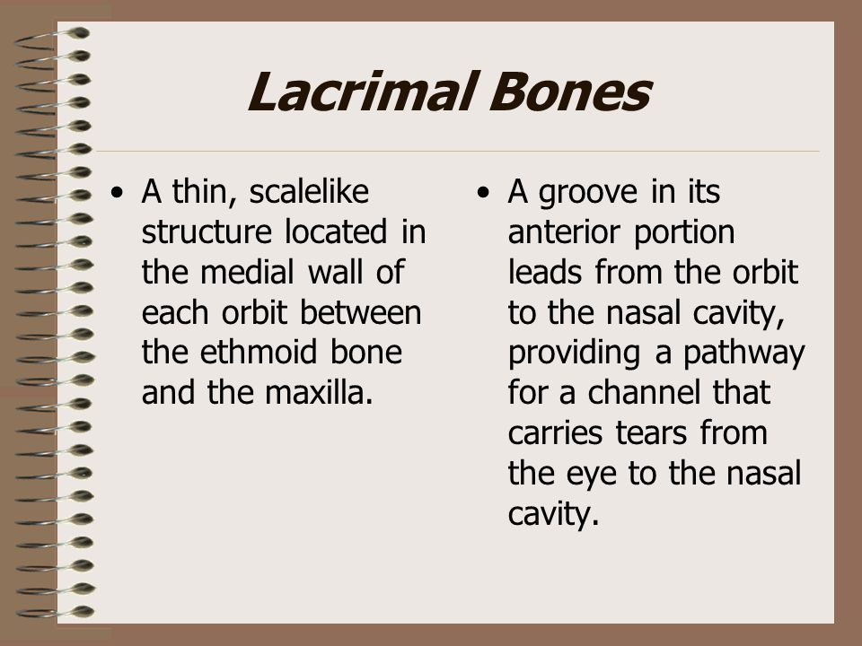 Lacrimal Bones A thin, scalelike structure located in the medial wall of each orbit between the ethmoid bone and the maxilla.