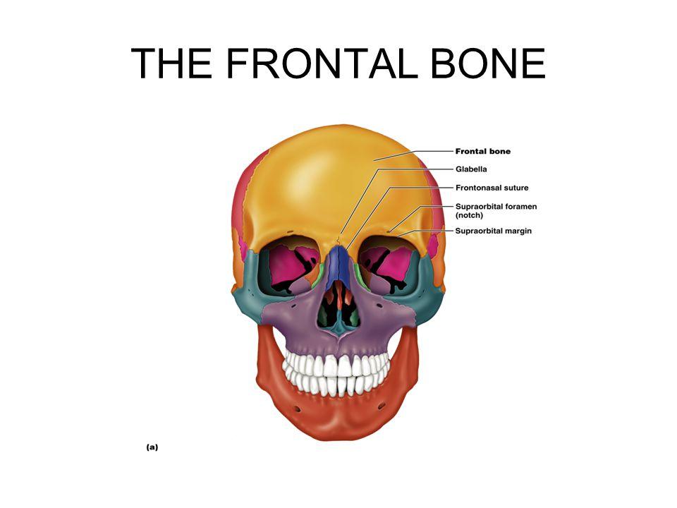 THE FRONTAL BONE