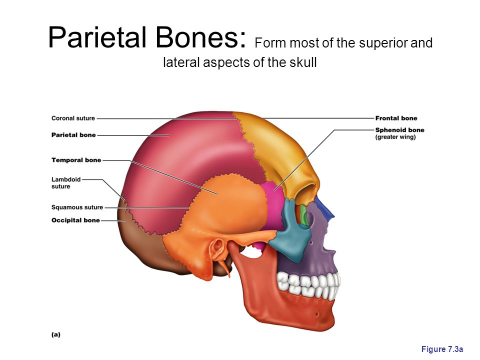Parietal Bones: Form most of the superior and lateral aspects of the skull