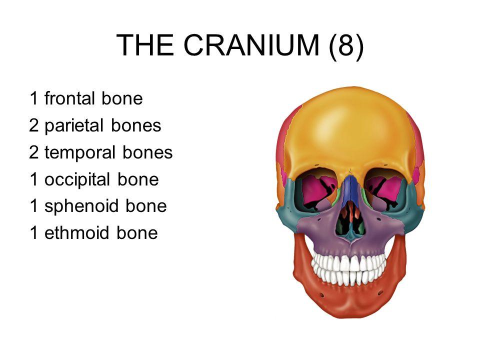 THE CRANIUM (8) 1 frontal bone 2 parietal bones 2 temporal bones