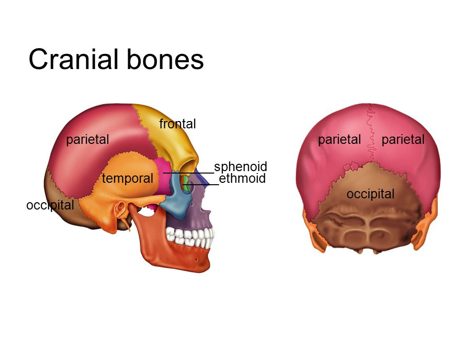 Cranial bones frontal parietal parietal parietal _______sphenoid