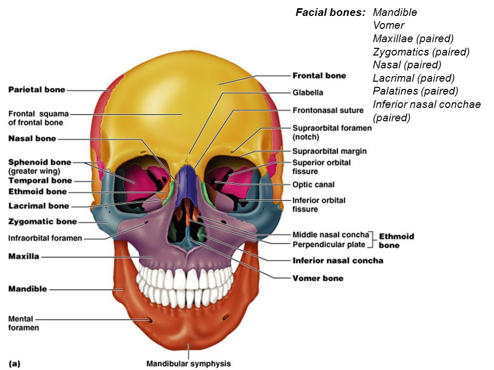 Facial bones: Mandible. Vomer. Maxillae (paired) Zygomatics (paired) Nasal (paired) Lacrimal (paired)
