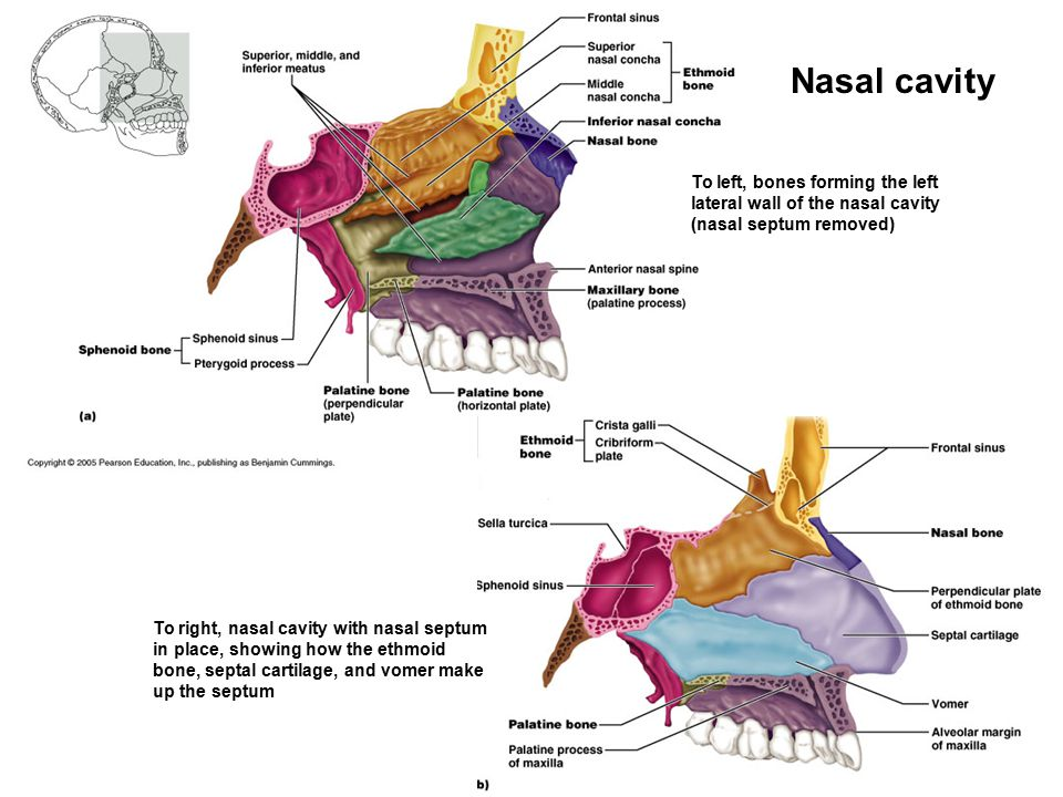 Nasal cavity To left, bones forming the left lateral wall of the nasal cavity (nasal septum removed)