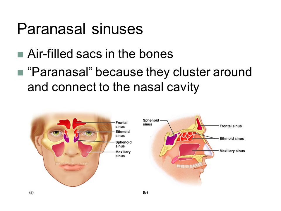 Paranasal sinuses Air-filled sacs in the bones
