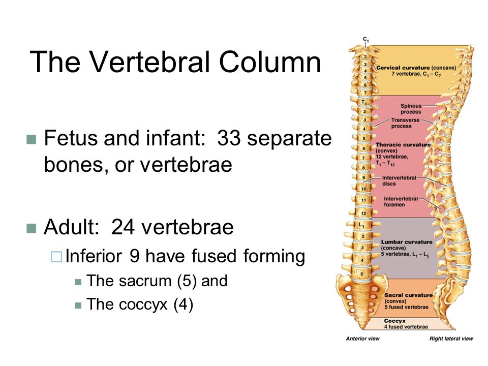 The Vertebral Column Fetus and infant: 33 separate bones, or vertebrae