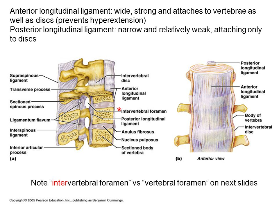Anterior longitudinal ligament: wide, strong and attaches to vertebrae as well as discs (prevents hyperextension)