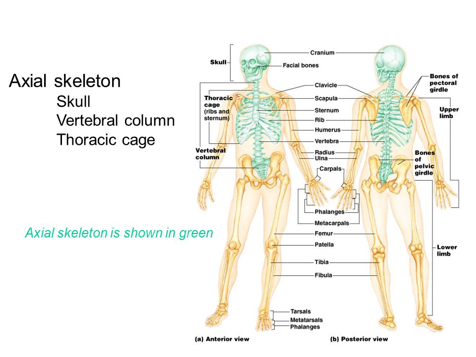 Axial skeleton Vertebral column Thoracic cage