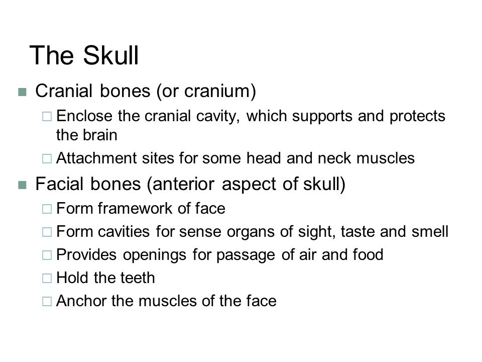 The Skull Cranial bones (or cranium)