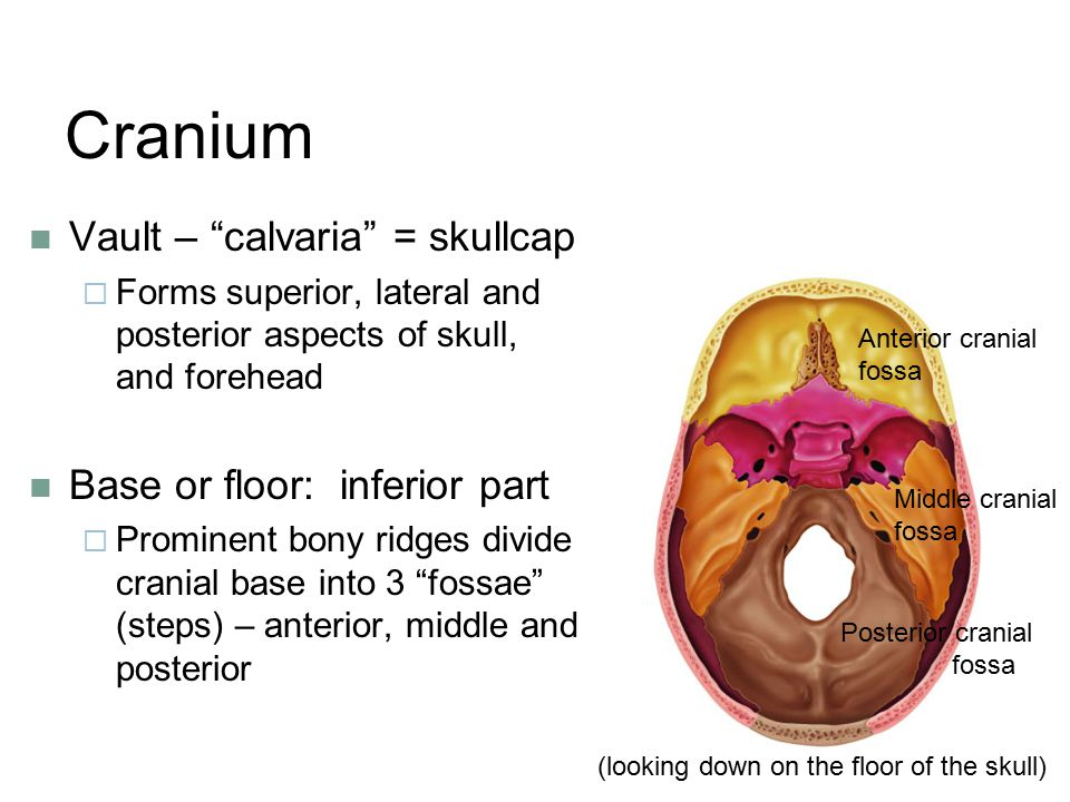 Cranium Vault – calvaria = skullcap Base or floor: inferior part
