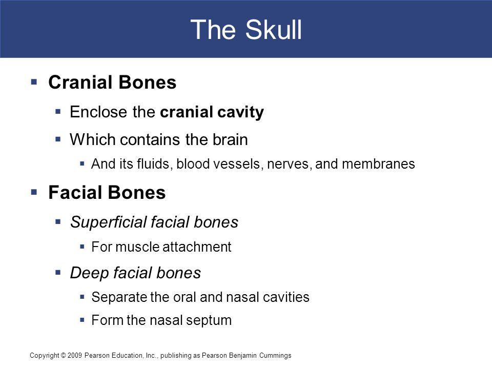 The Skull Cranial Bones Facial Bones Enclose the cranial cavity