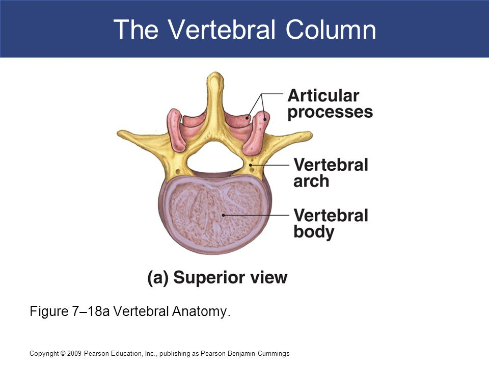 The Vertebral Column Figure 7–18a Vertebral Anatomy.
