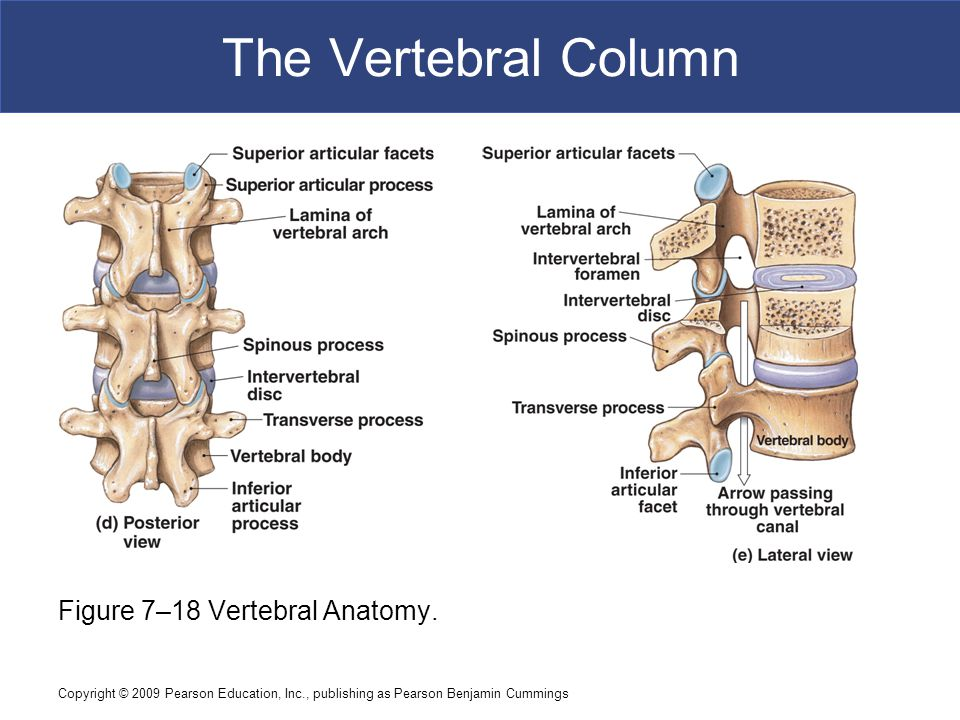 The Vertebral Column Figure 7–18 Vertebral Anatomy.