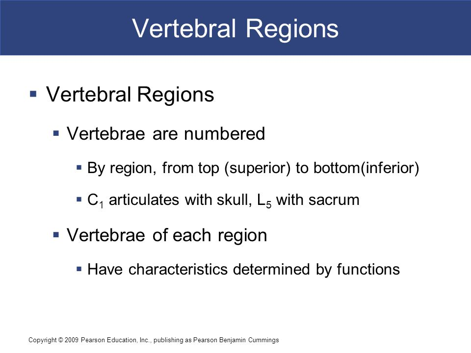 Vertebral Regions Vertebral Regions Vertebrae are numbered