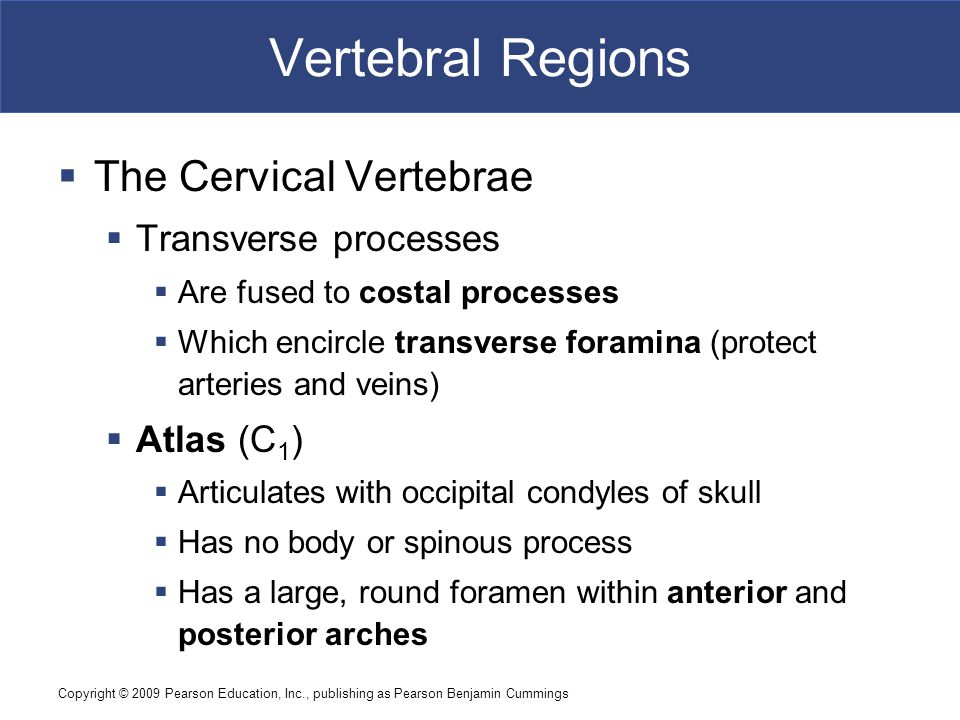 Vertebral Regions The Cervical Vertebrae Transverse processes