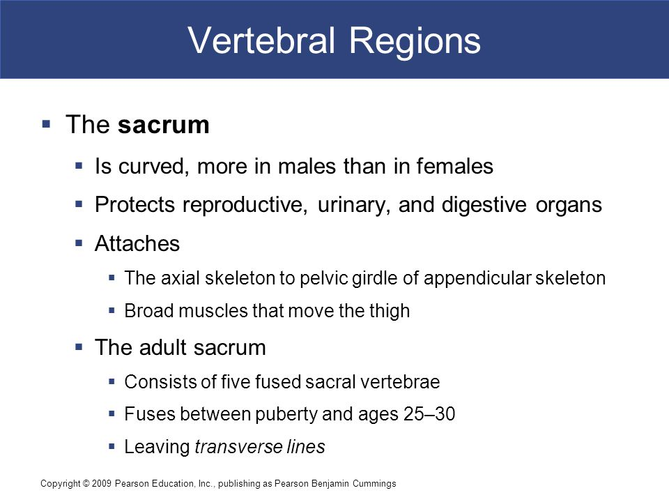 Vertebral Regions The sacrum Is curved, more in males than in females