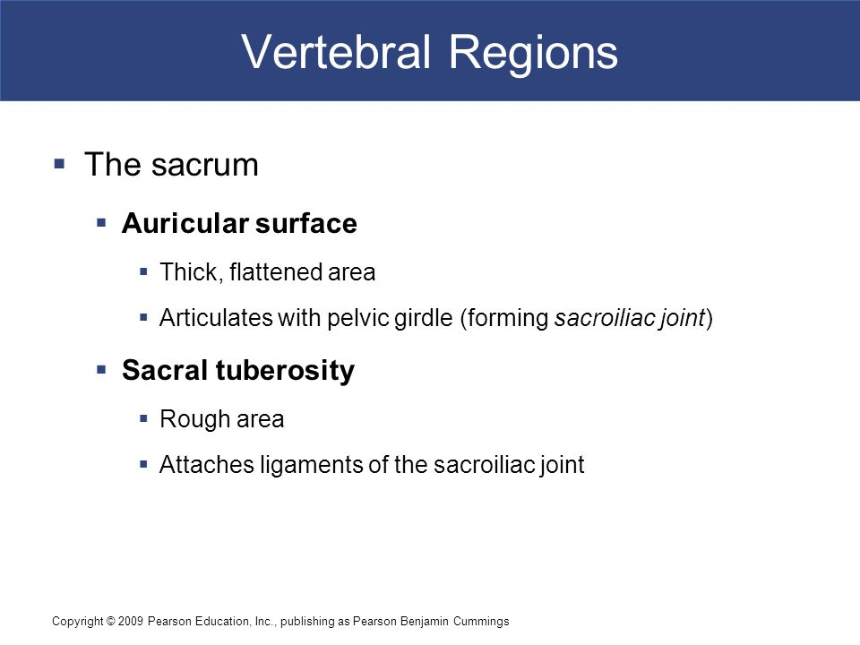Vertebral Regions The sacrum Auricular surface Sacral tuberosity