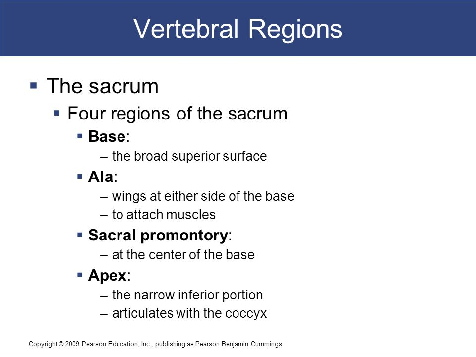 Vertebral Regions The sacrum Four regions of the sacrum Base: Ala: